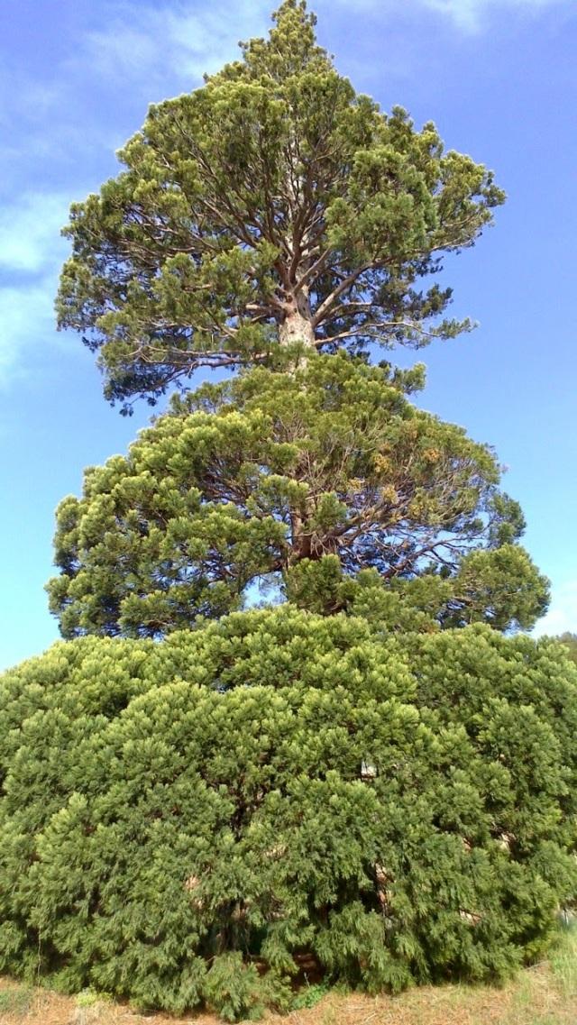 sequoia de la Granja Escuela