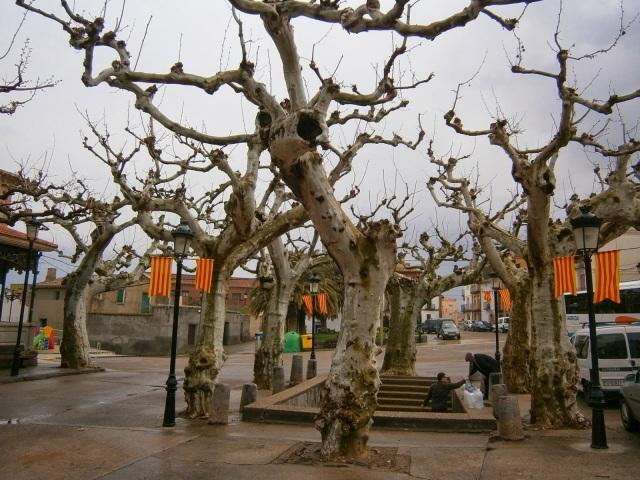Platanos centenarios en Almonacid -Zaragoza-