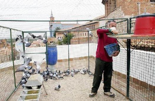 captura-de-palomas-en-teruel