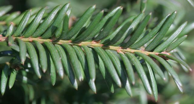 hojas-de-tejo